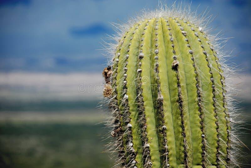 Close up of a Giant Cactus / Cardon royalty free stock photo