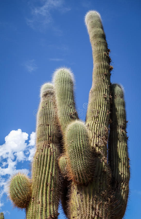 Giant cactus in the desert, Argentina royalty free stock photo