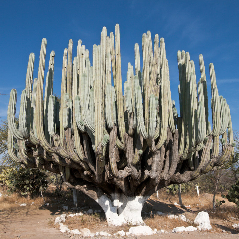 Giant cactus in Mexico royalty free stock image