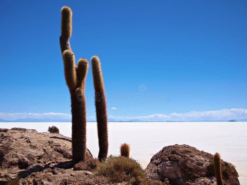Giant cactus and Uyuni salt lake stock images