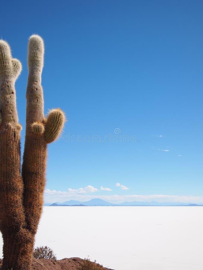 Giant cactus and Uyuni salt lake royalty free stock photo
