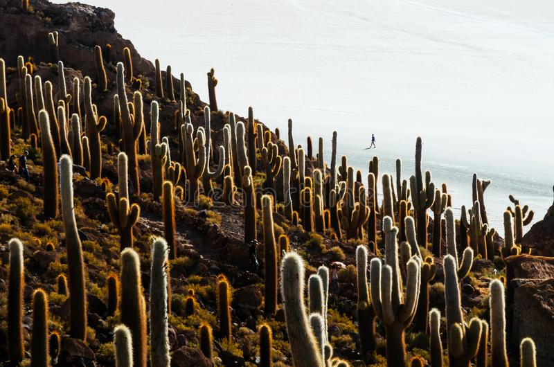 Cactus island in the Bolivian salt flat of Uyuni. Giant cactuses on a hill in the middle of a salt flat desert Uyuni in Bolivia island sunny vastness panorama stock images
