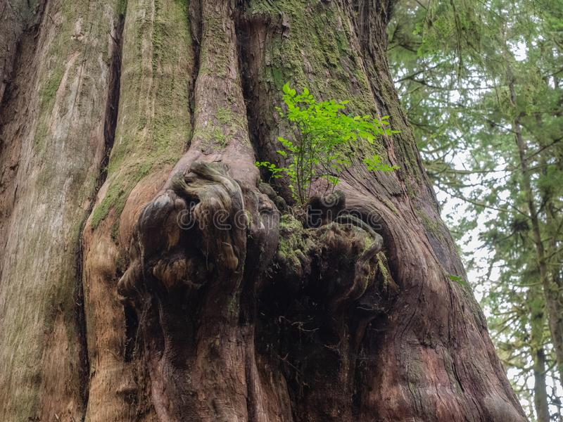 Gnarly cedar tree trunks. Giant cedar trees have gnarly trunks in the Avatar Grove at Port Renfrew on Vancouver Island, British Columbia stock image
