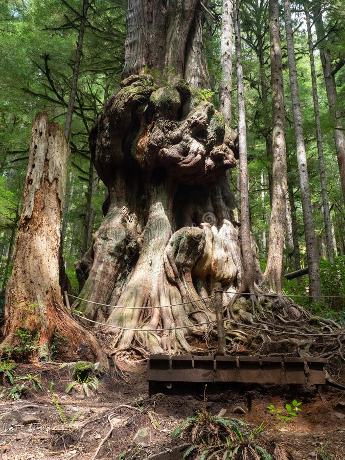 Gnarly cedar tree trunks. Giant cedar trees have gnarly trunks in the Avatar Grove at Port Renfrew on Vancouver Island, British Columbia stock photography