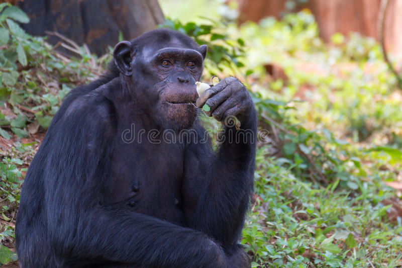 Giant chimpanzee monkey eating banana. Giant chimpanzee monkey eating banana in the forest stock photos