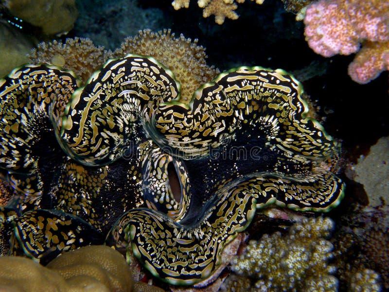 Download Giant Closeup stock photo. Image of mollusc, nature, tridacna - 17613774