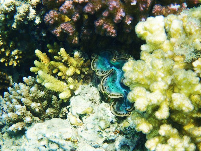 Giant clam from egypt. In the red sea stock photography