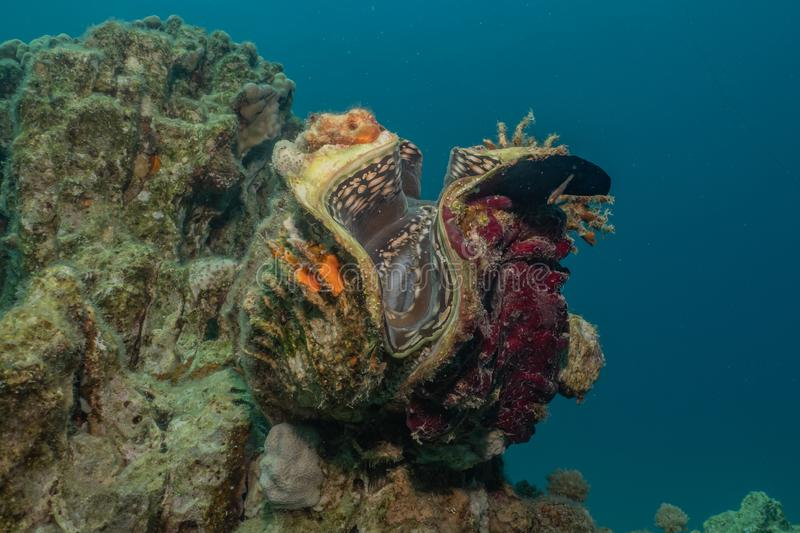 Giant Clam in the Red Sea. Colorful and beautiful, Eilat Israel stock photos