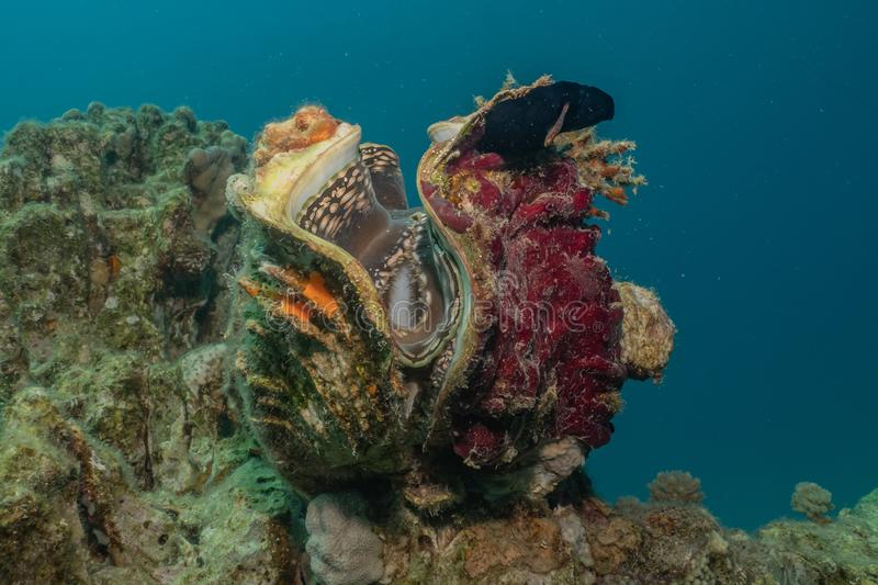 Giant Clam in the Red Sea. Colorful and beautiful, Eilat Israel royalty free stock photography