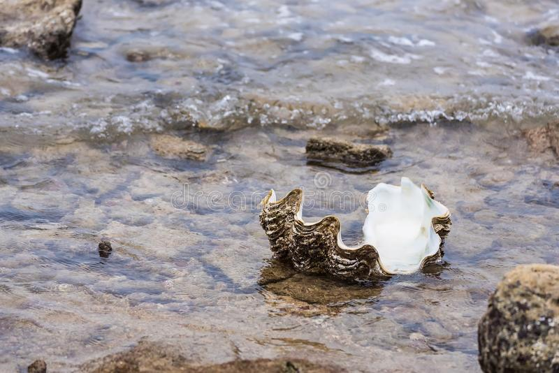 Giant clam in to the sea.Thailand. Beach, nature, shell, tropical, summer, animal, climate, vacations, sand, photography, life, cockle, backgrounds, tridacna royalty free stock photo