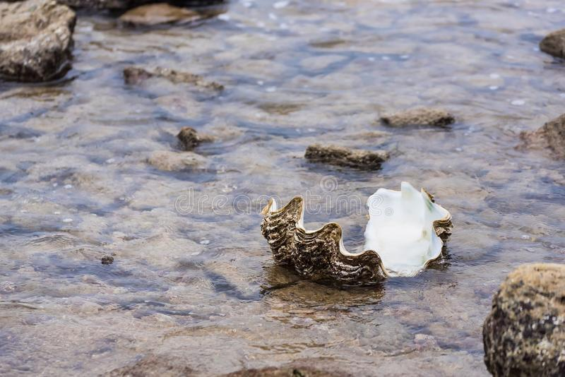 Giant clam in to the sea.Thailand. Beach, nature, shell, tropical, summer, animal, climate, vacations, sand, photography, life, cockle, backgrounds, tridacna royalty free stock photos
