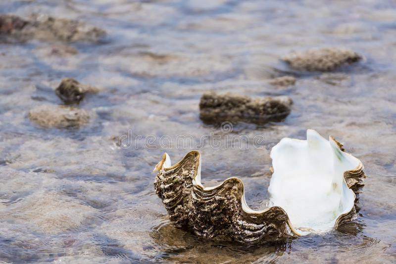Giant clam in to the sea.Thailand. Beach, nature, shell, tropical, summer, animal, climate, vacations, sand, photography, life, cockle, backgrounds, tridacna stock image