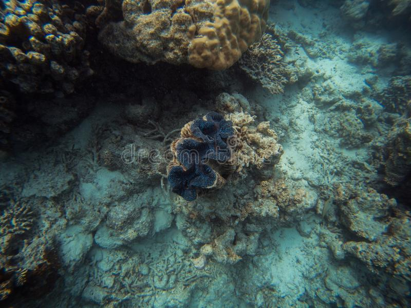 Giant clam underwater. Tridacna Clam underwater near the reef royalty free stock photos