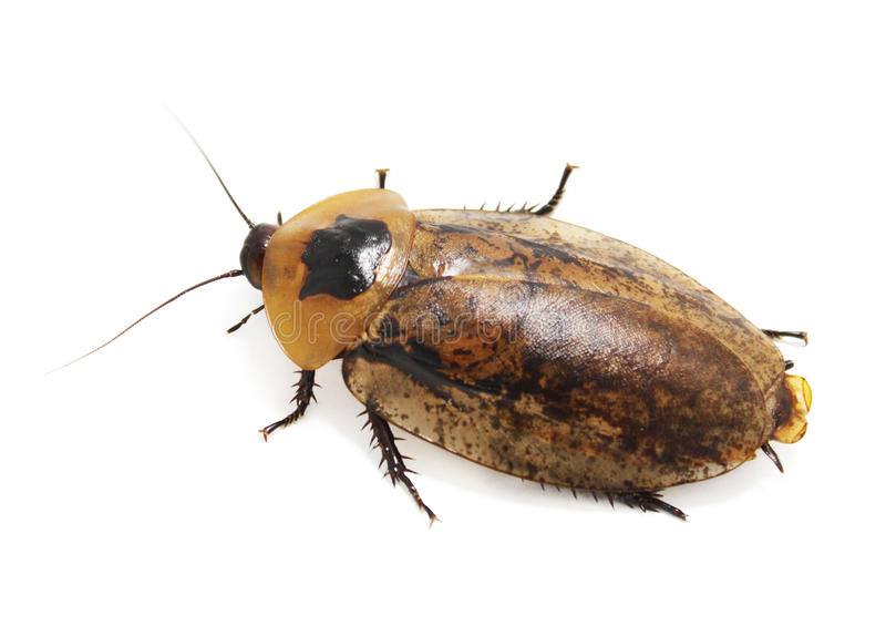Giant cockroach (Blaberus) ISOLATED stock photos