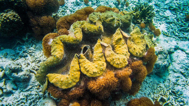 Giant colorful Tridacna gigas grows in the bottom in Raja Ampat, Indonesia.  stock image