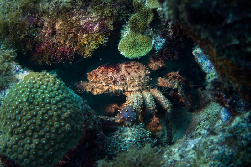 Giant coral reef crab in Curacao royalty free stock images