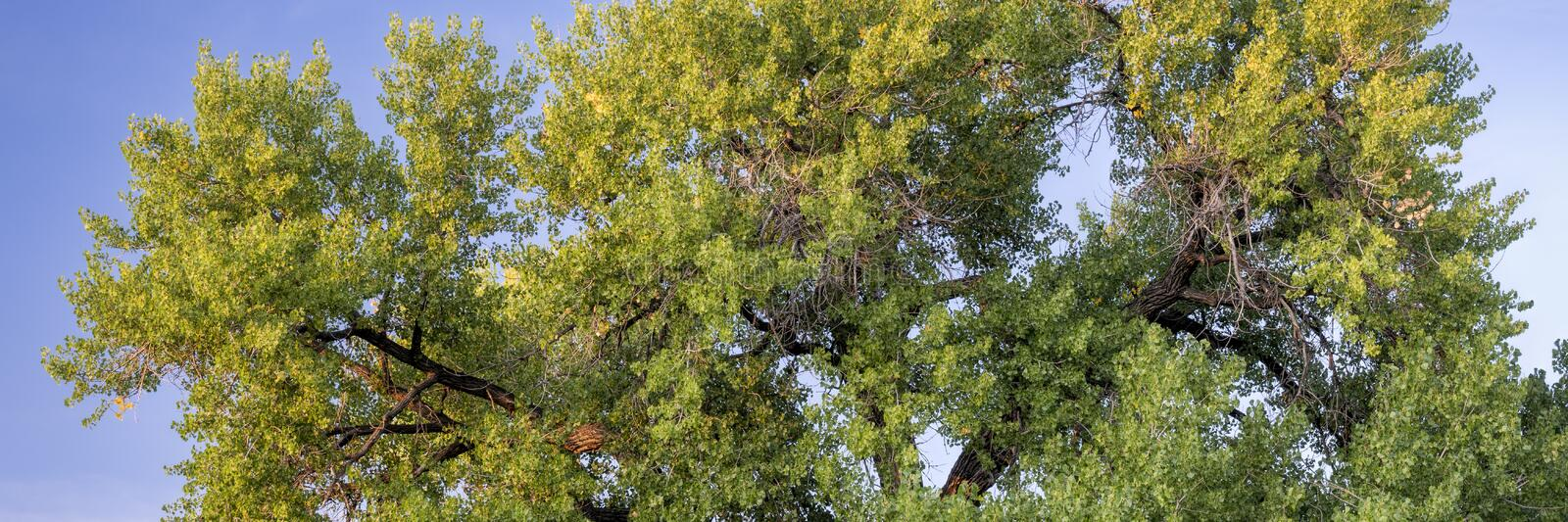 Giant cottonwood tree in early fall royalty free stock image