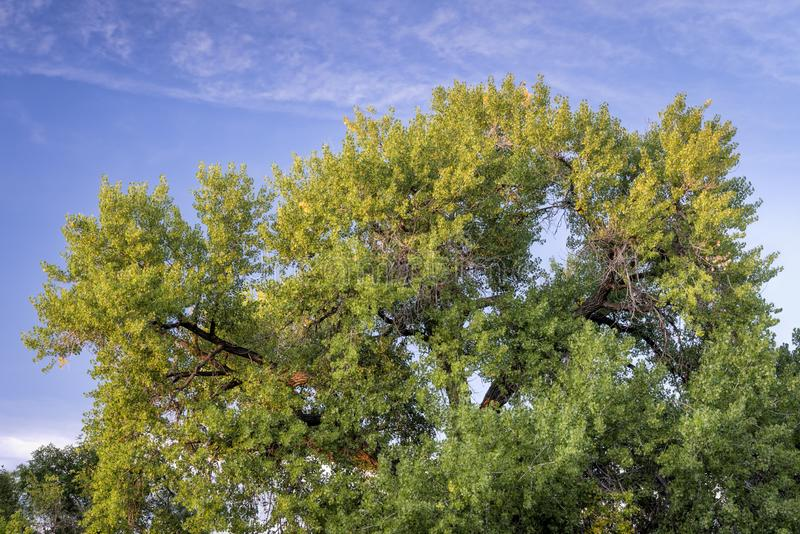 Giant cottonwood tree in early fall stock photography