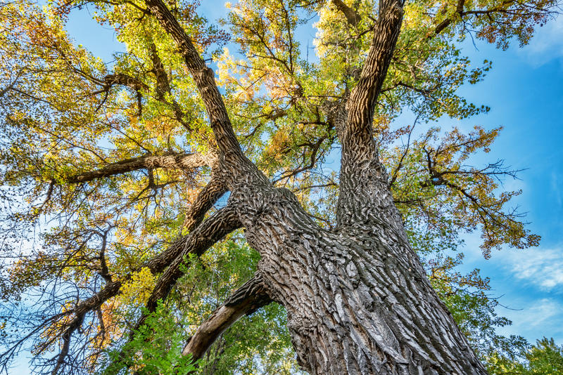 Giant cottonwood tree with fall foliage stock photography