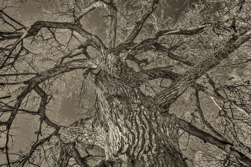 Giant cottonwood tree in winter royalty free stock photos