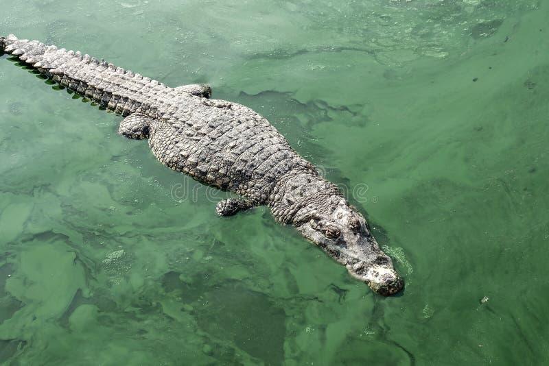 giant crocodile in green stock image