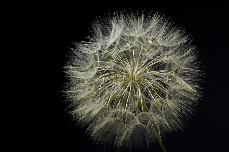 Giant Dandelion on Black royalty free stock images