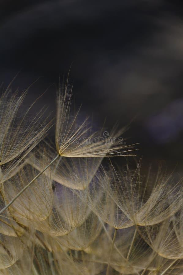 Giant dandelion over dark water royalty free stock photo