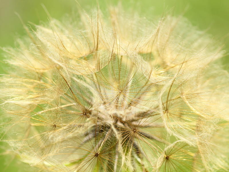 Dandelion seed head close-up stock photo
