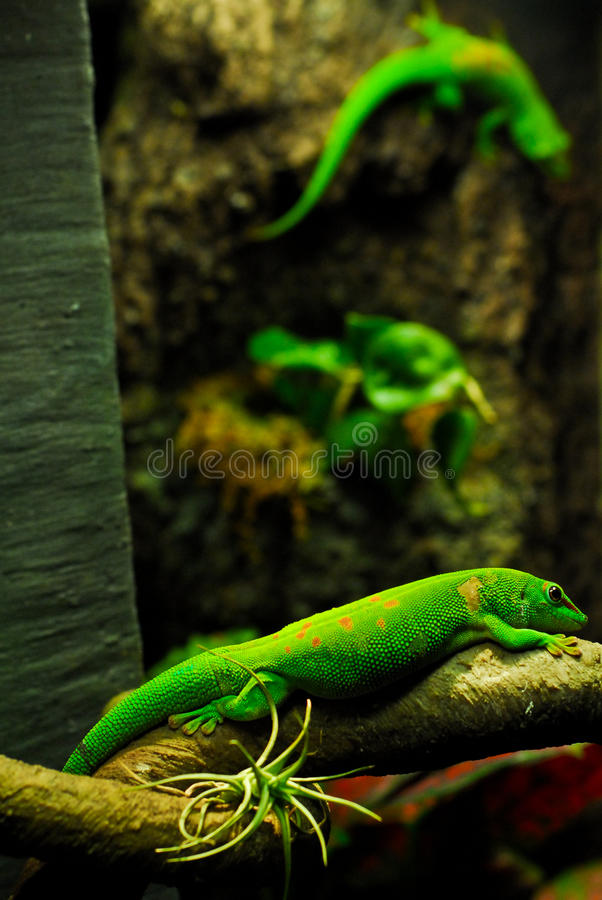 Giant Day Gecko