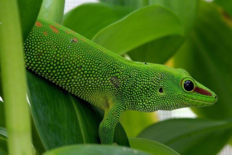 Giant Day Gecko Phelsuma madagascariensis grandis stock photo