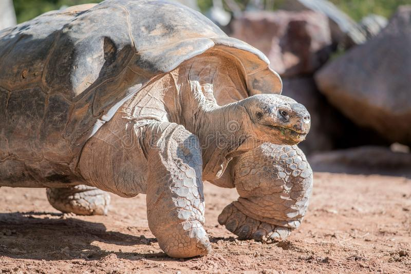 Giant desert tortoise walking through sandy desert stock photo