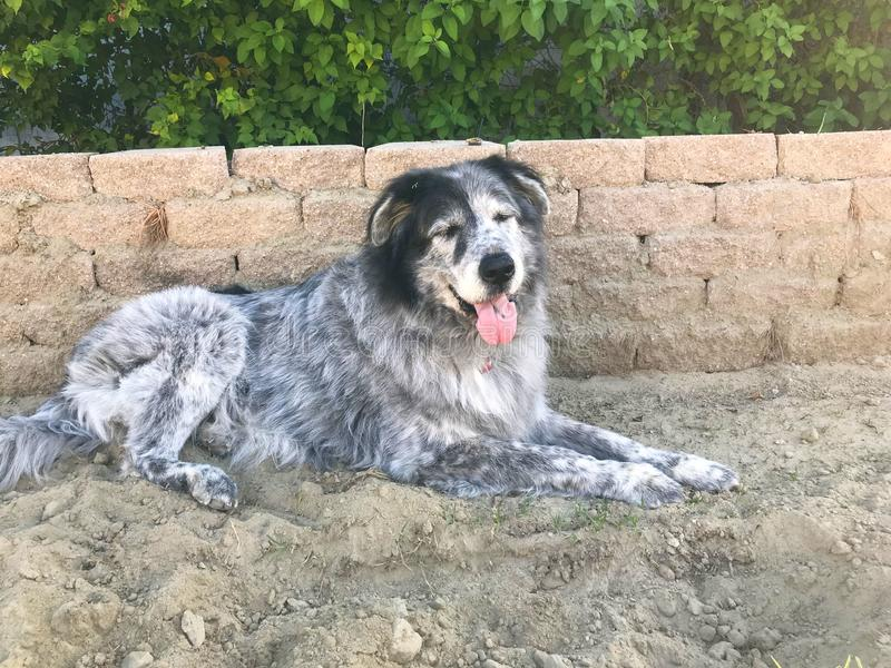 A Big Dog That Loves the Dirt. This giant dog loves playing. That usually means digging and rolling in the dirt though stock photos