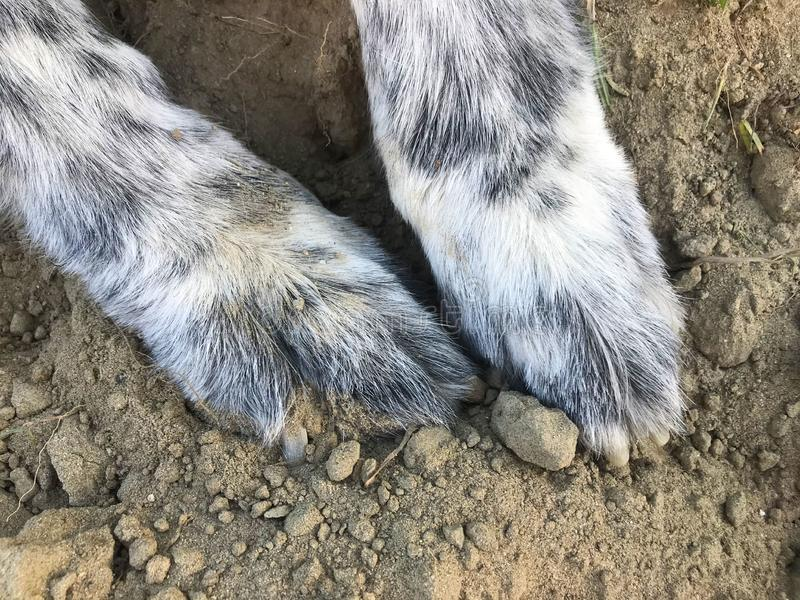 A Big Dog That Loves the Dirt. This giant dog loves playing. That usually means digging and rolling in the dirt though royalty free stock photography
