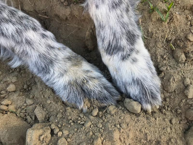 A Big Dog That Loves the Dirt. This giant dog loves playing. That usually means digging and rolling in the dirt though stock photography
