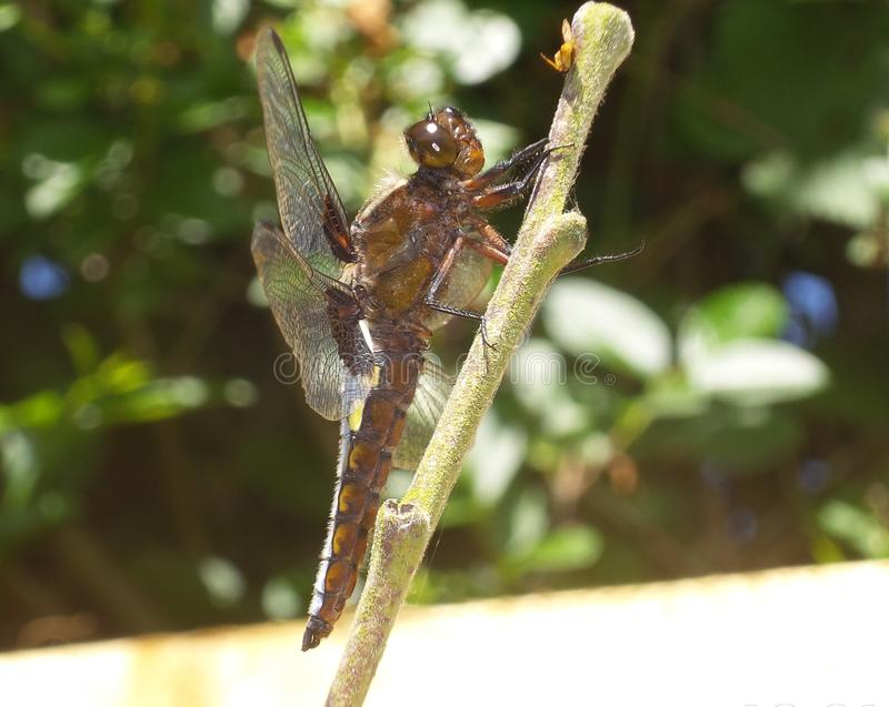 GIANT DRAGON FLY EATING WASP ON PLUM TREE royalty free stock image