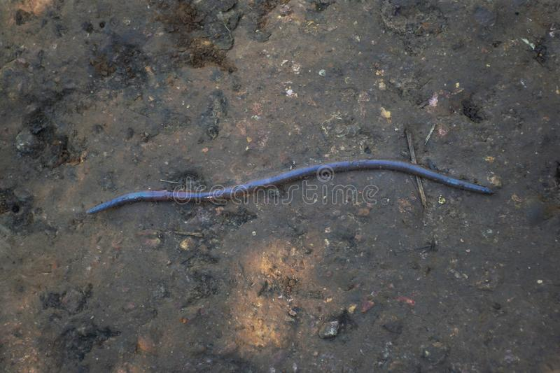 A giant earthworm on a soil stock image