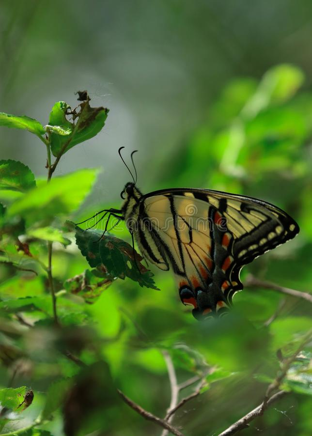 Giant Eastern Swallowtail butterfly. A giant Eastern Swallowtail butterfly, feeds on a green plant along a trail in the park during the summer stock image