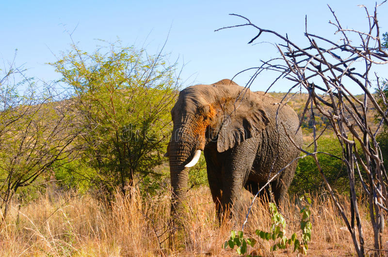 Giant elephant in Africa royalty free stock photos