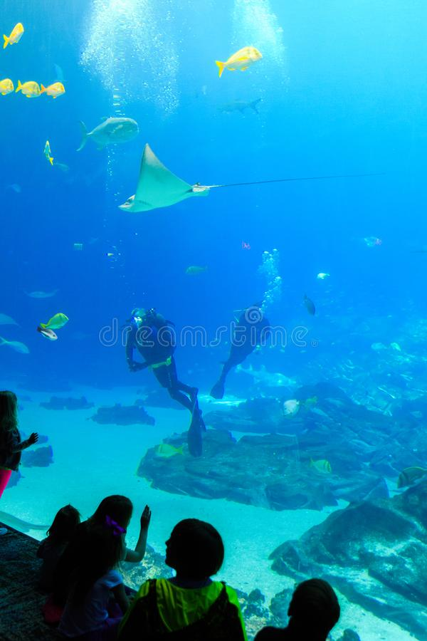 Child watches Scuba diver in tank with various sea creatures at the georgia aquarium USA. Giant fish in aquarium fish tank underwater with scuba diver in USA royalty free stock photography