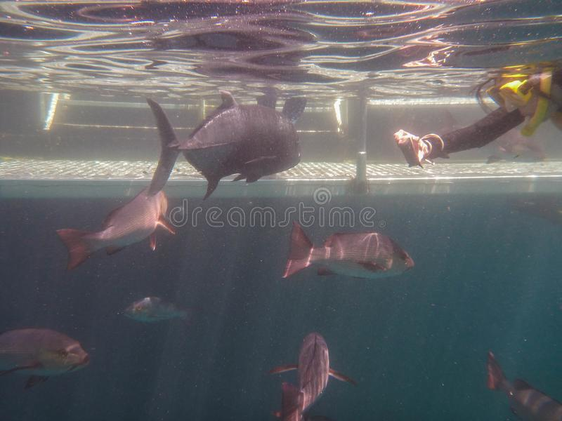 Giant fish in the Great Barrier Reef stock images