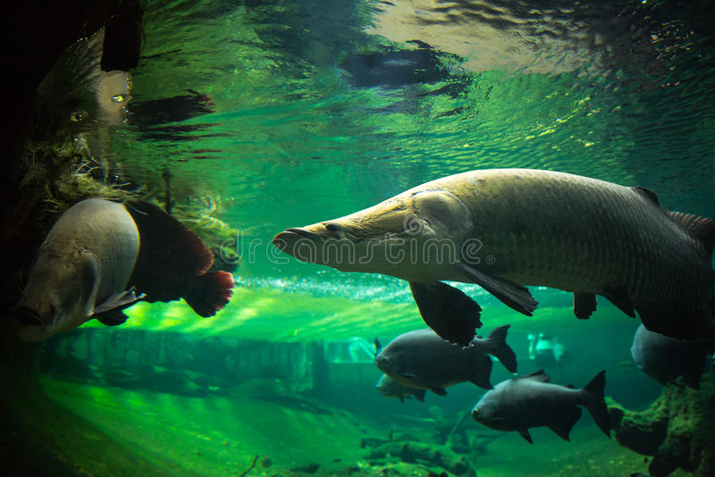 Download Giant fishes underwater stock image. Image of nature - 32868939