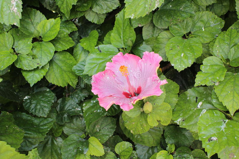 Giant flower pink royalty free stock images