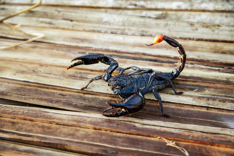 Giant forest blue scorpion Heterometrus spinifer. stock photography