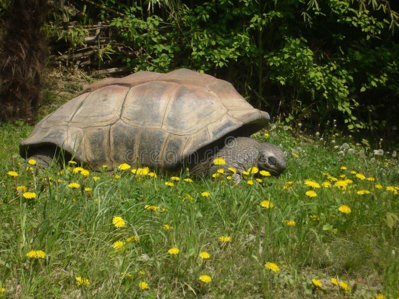 Giant Galapagos Tortoise royalty free stock photo