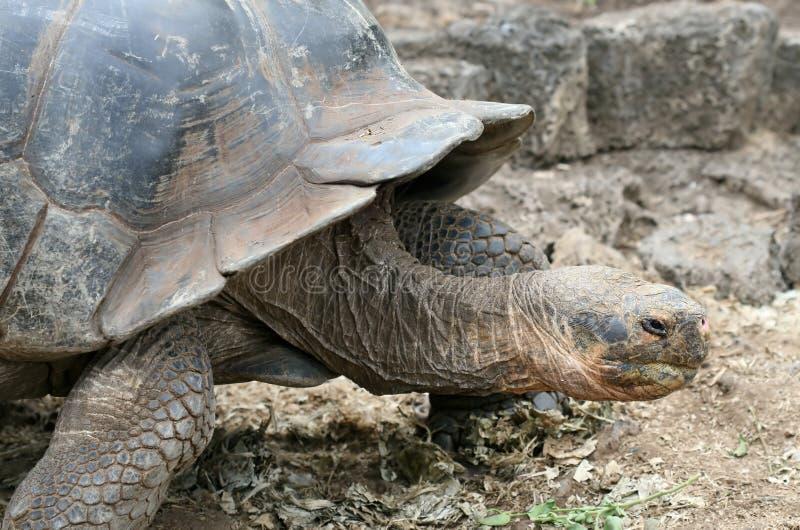 Download Giant Galapagos Tortoise stock image. Image of santa, darwin - 5760973