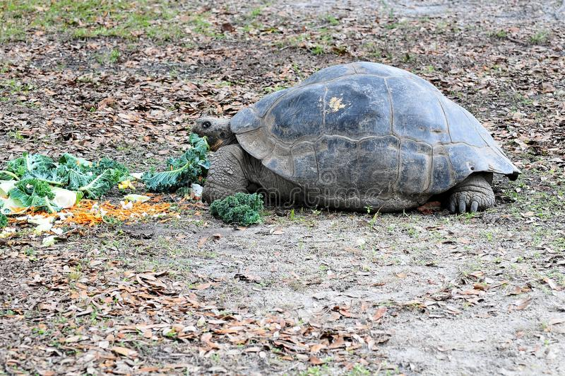 Giant Galapagos Tortoise Eating royalty free stock photography