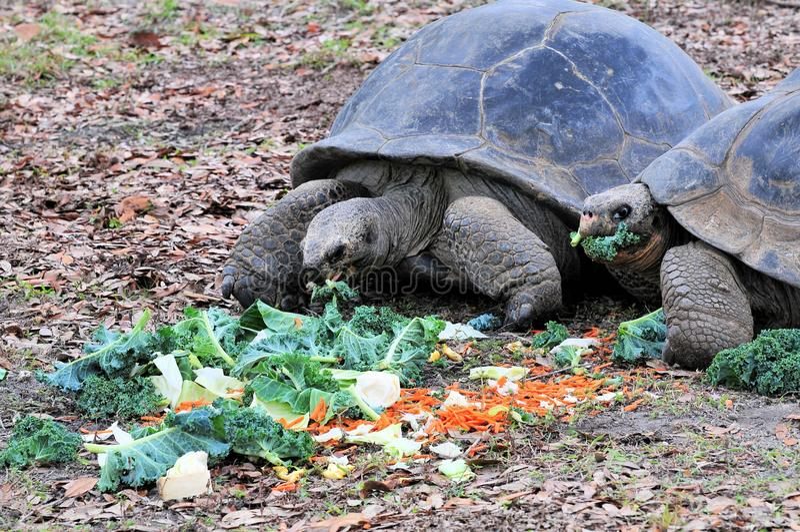 Giant Galapagos Tortoises Eating royalty free stock images