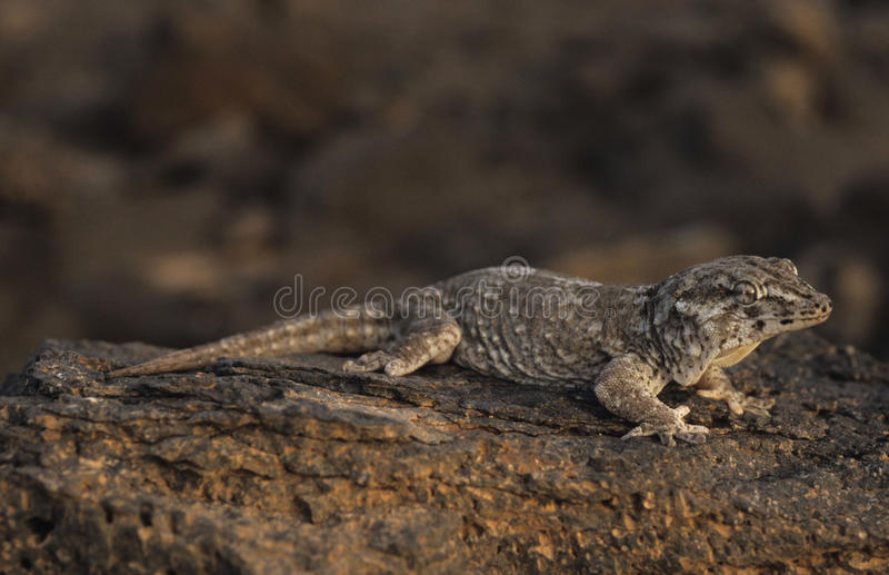 Download Giant Gecko Royalty Free Stock Photography - Image: 12873457