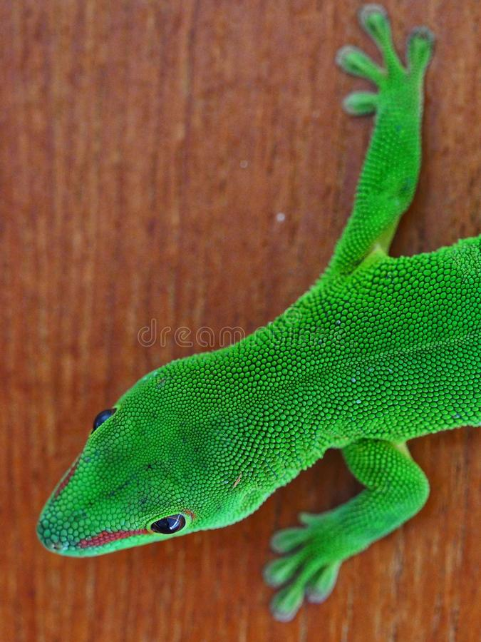 Giant gecko of Madagascar. Resting on wood royalty free stock photos