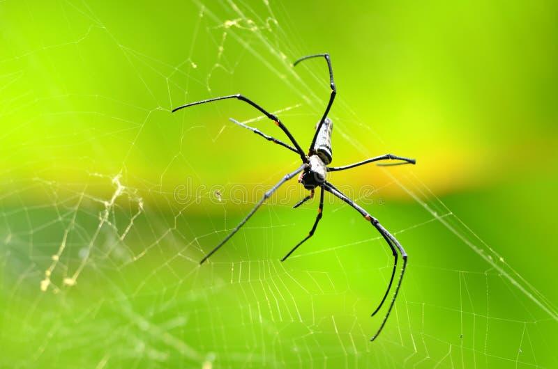 Giant Golden Orb Weaver Spider
